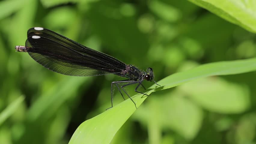 Wide shot of a black baby dragonfly resting on a green leaf in the forest. Close up of a bug with large black wings. Baby dragonflies.