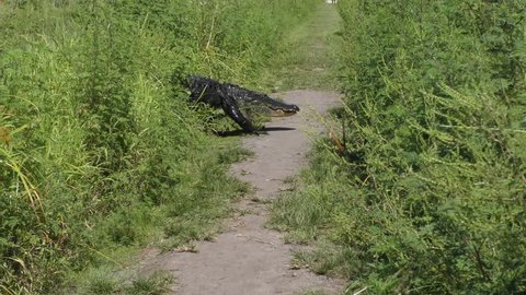 large alligator crossing a narrow park trail