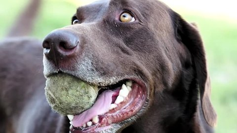 very excited and drooling Labrador looking around with a tennis ball in its mouth. The ending of the shot focuses on the dogs muzzle