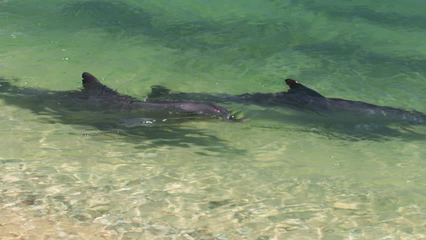 A medium shot of dolphins swimming under the water. Camera tracks the movement of the dolphin