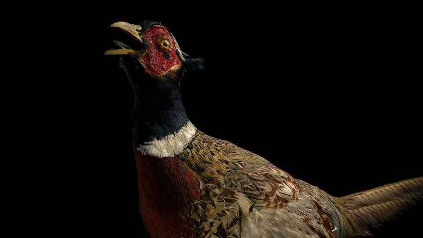Taxidermy Pheasant Bird