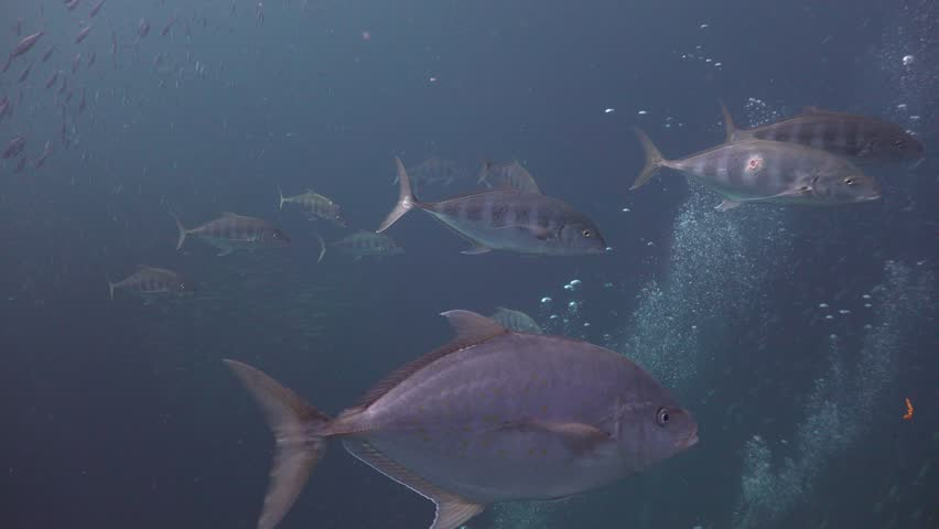 The group of Trevally, Bludger hunts together  #1012240751
