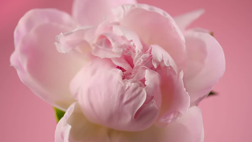 Beautiful pink Peony on pink background. Blooming peony flower open, time lapse, close-up. Wedding backdrop, Valentine's Day concept. 4K UHD video timelapse
