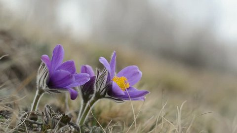 blossoming purple pasque flowers pulsatilla grandis swaying in the wind on the hill