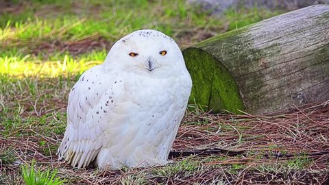 Snowy owl (Bubo scandiacus) is large, white owl of the typical owl family. Snowy owls are native to Arctic regions in North America and Eurasia.