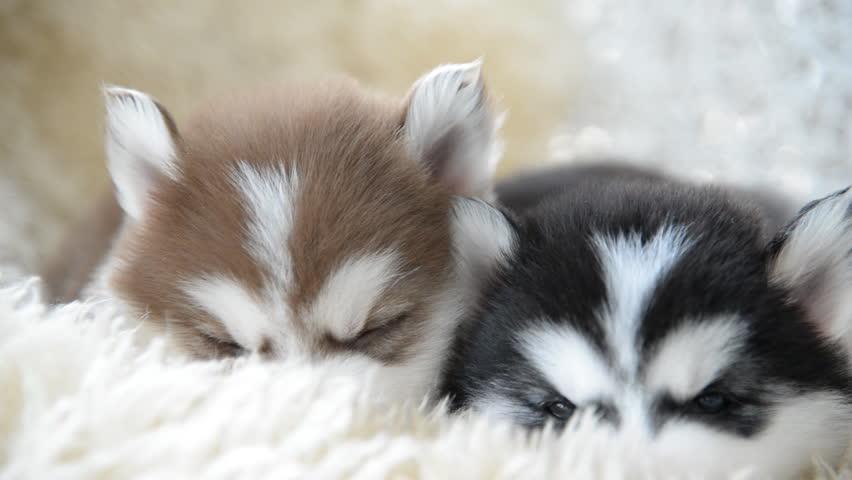 Top Stock Video Clip of Cute siberian husky puppies sleeping  CG69