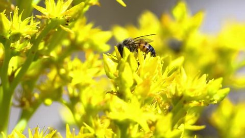 Video Detail Of A European Bee Apis Mellifera Pollinating A Yellow Flower