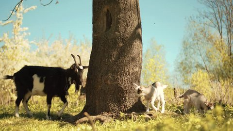 One big goat with goatee and antlers standing near old tall tree. Three animals grazing in the forest. Daytime, spring. Village. Countryside.