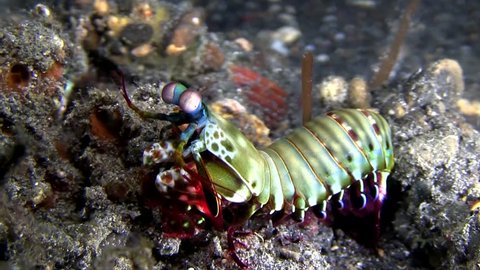 Peacock Mantis (Odontodactylus scyllarus) on the coral in Lembeh strait Indonesia.