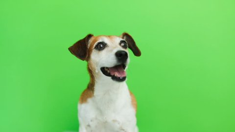 cute dog waiting for food. eats treats from owner woman hand. Video footage. Green chroma key background. Lovely white Jack Russell terrier dog.