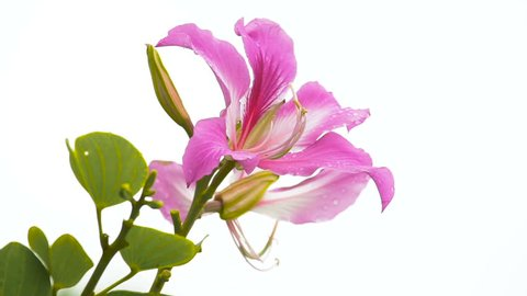 close up pink Bauhinia purpurea flower isolate on white background (Orchid Tree)