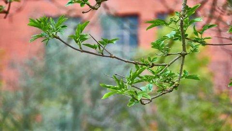 Sambucus  is species complex of flowering plants in family Adoxaceae. Names include European elder and  black elderberry.