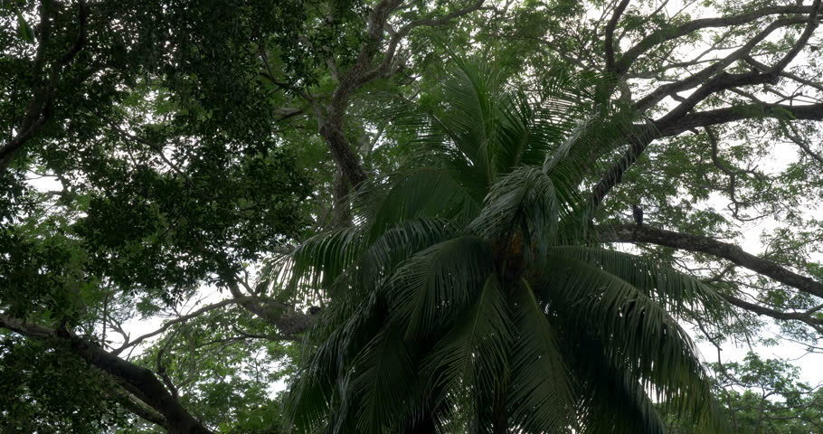Just Trees Of Costa Rica, Native 4:2:2, 10 Bit Material, straight out of the cam. | Shutterstock HD Video #1012474571