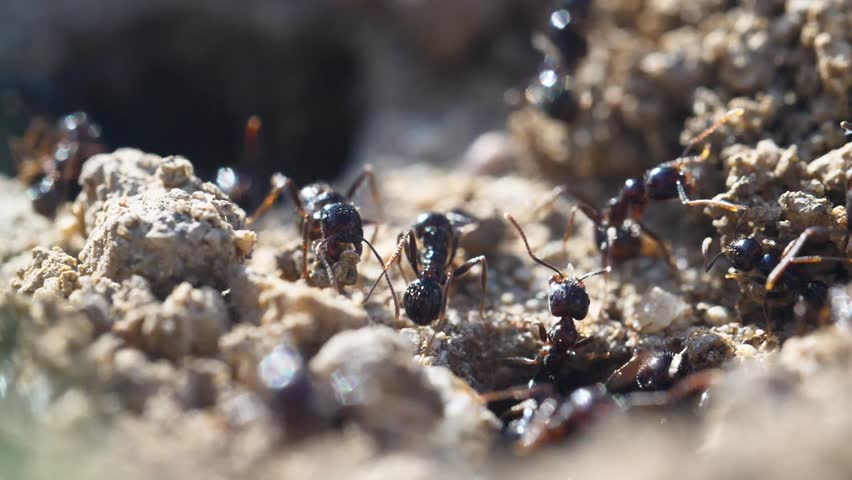 Macro ants ant nest colony anthill frenetic busy movement animals insects running moving fast hill teamwork society concept | Shutterstock HD Video #1012510481