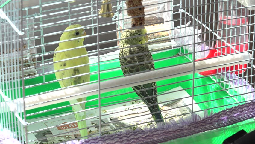 Domestic Budgerigars, Birds in Cages  Stock Footage Video (100%  Royalty-free) 1012560371 | Shutterstock