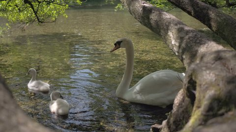 The big swan and two baby swans swim on the river - 4K