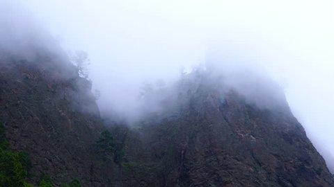PINO CANARIO (Pinus canariensis), La Cumbrecita, Caldera de Taburiente National Park, La Palma, Canary Islands, Spain, Europe
