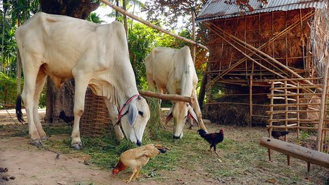 Skinny white cows tied up with rope in a farmyard and eating grass ; Poultry wandering around and ground pecking