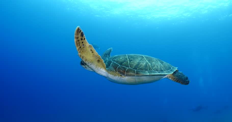 turtle underwater swim slow motion with sun