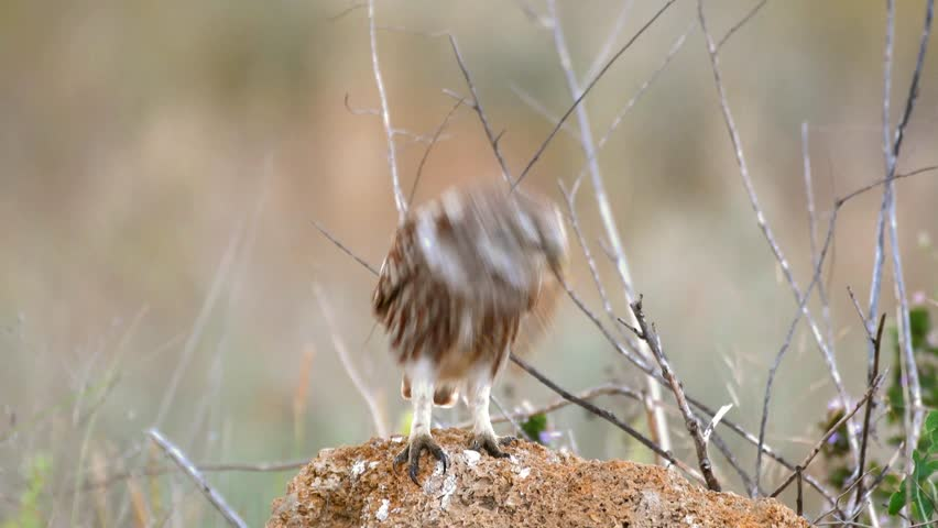 Little owl (Athene noctua) sits on a stone with a centipede in its beak.