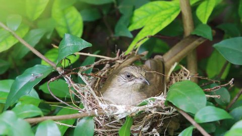 Close up bulbul bird hatching her eggs in the nest