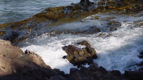 Mass of seaweed tendrils floating in the ocean beside coast