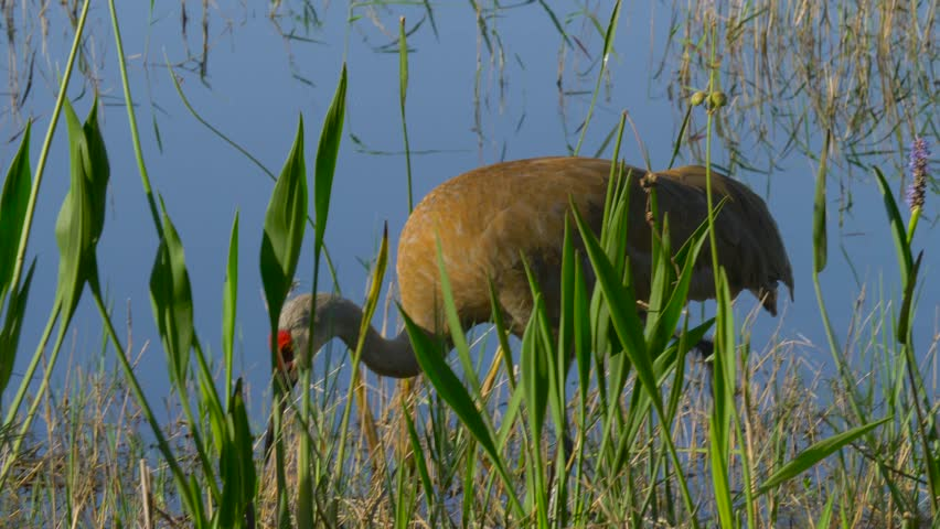 Sandhill Crane looking for food. Sandhill Crane (Grus canadensis) - Florida. Adult Sandhill Crane (Grus canadensis) is standing at the edge of the lake.