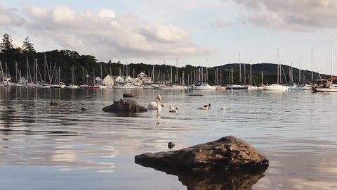 Swans and cygnets by the shore of Lake Windermere, with yachts beyond moored in open water, at Parson Wyke near Ferry Nab,  Bowness-on-Windermere in the English Lake District, Cumbria.