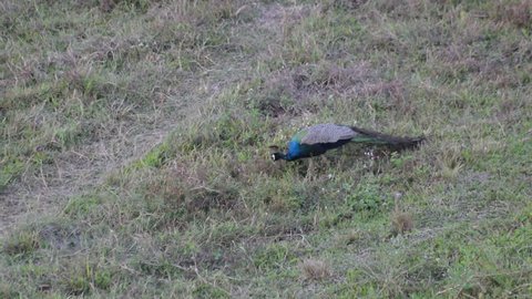 The Indian peafowl or blue peafowl (Pavo cristatus) - the male is called the peacock, eating food in grass land, at Gorumara national forest, Dooars , North Bengal - West Bengal, India