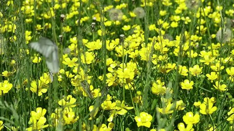 yellow flowers in green grass. white butterflies above flowers