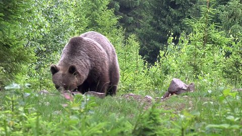 Wild brown bear (ursus arctos). Natural habitat, Slovakia