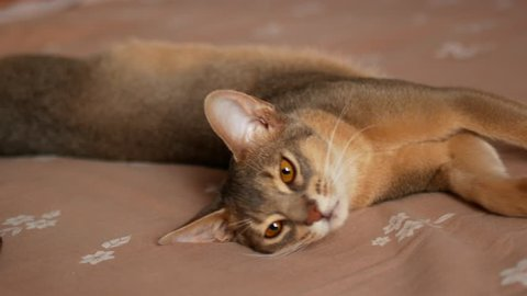 Domestic cat being scratched with love. Cute abyssinian cat