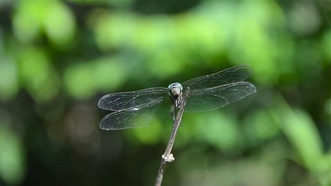 Video of dragonfly are flying in the garden, The dragonfly catching on the tree branch and wood stump at outdoor, Beautiful dragonfly in the natural habitat.