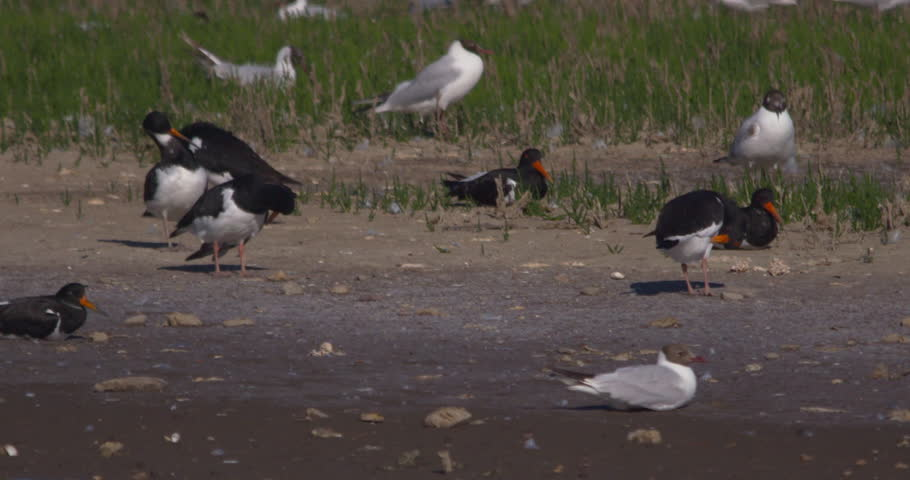 Oystercatcher birds and gulls preen and rest in sunshine