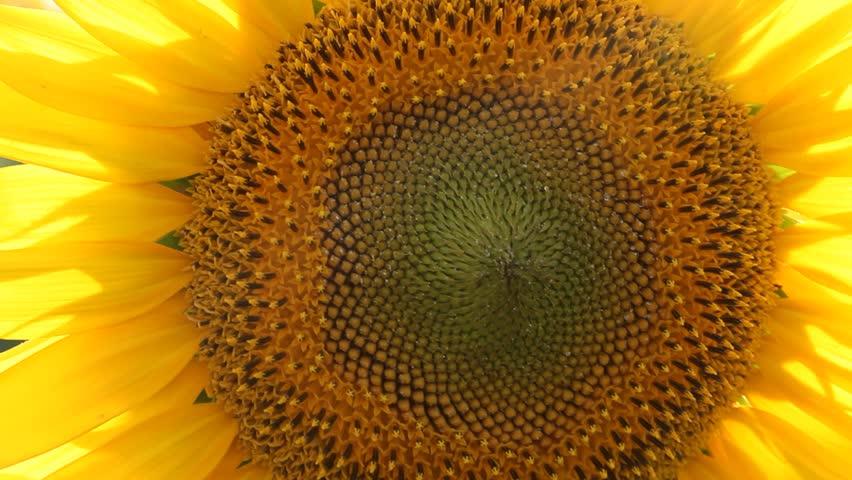 Sunflower swaying in the wind   Shutterstock HD Video #1013087621