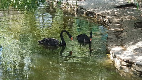black swan swim in a pond, swan dives