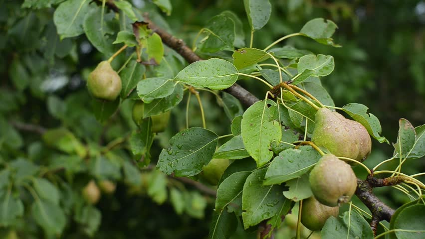 Unripe little pears on fruit tree after the rainon a rural farm. Agriculture landscape shoot. The concept of a healthy diet. Close-up.