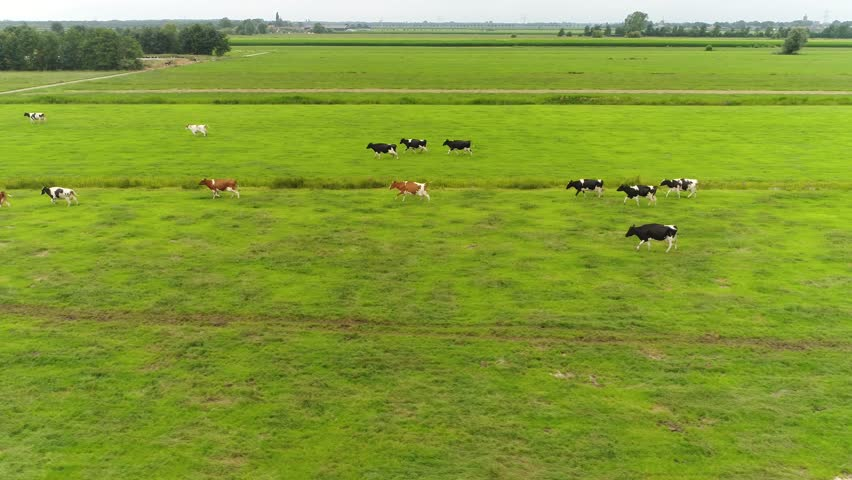Low altitude aerial footage of Holstein Friesians moving back to the farm they are breed of dairy cattle originating from the Netherlands they are known as worlds highest-production dairy animals