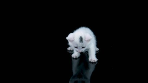 Beautiful little white cat isolated on black background with reflection, meows, looking around, walks to camera, ProRes source codec