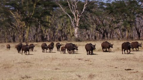 Buffalo in the wild Africa / Kenya / Mombasa wildlife (RedTech) (Slowmo)