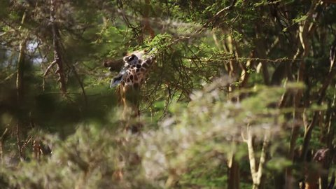Giraffe in wild Africa / Kenya / Mombasa (RedTech) (Slowmo)