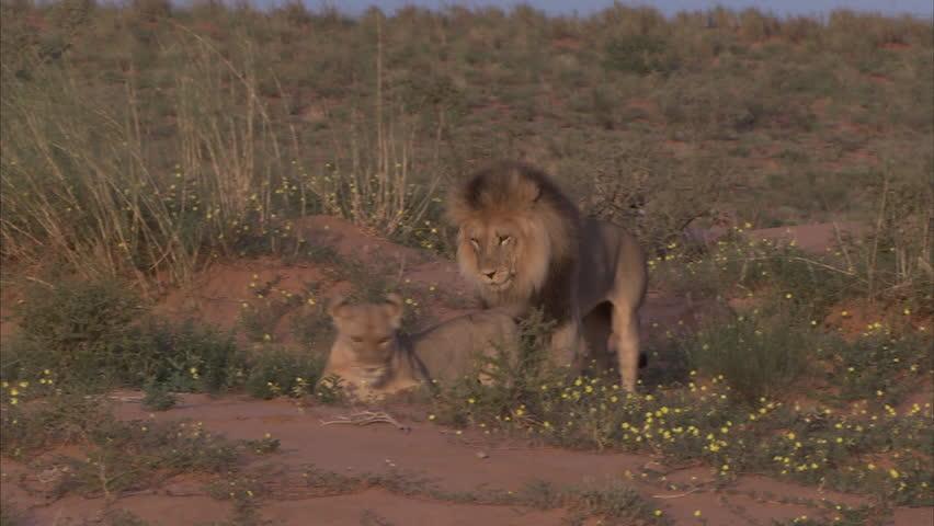 Kalahari lions mating on a dune
