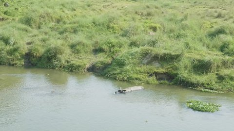 Rhino swims in the river. Chitwan national park in Nepal.