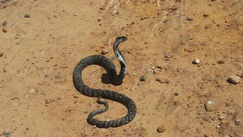 Cobra close-up. Spitting Indian Cobra, Latin Naja sputatrix. A poisonous snake from the family of aspides. Snake farm in an Asian village. Sri Lanka. Wild Life, dangerous reptiles, Asian snakes.