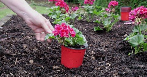 A gardener planting colourfull young border plants into a garden using a hand trowel.