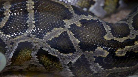 burmese python suffocates rabbit