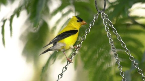 American Goldfinch (Spinus tristis) perched on a wire