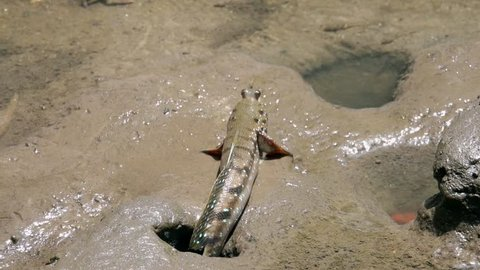 Mudskipper (Periophthalmus) on Wetland