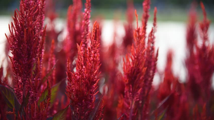 Beautiful red flamingo feather movement HD or plume celosia cockscomb motion in the garden