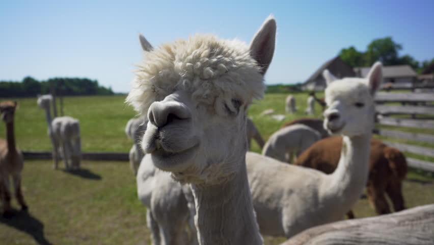 Sniffing alpacas. Close up. | Shutterstock HD Video #1013424071